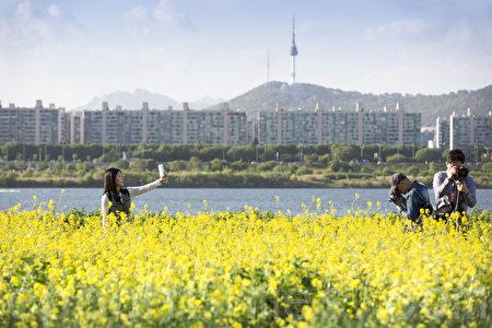 五月中旬的韓國首爾漢江瑞來島(瑞草區盘浦地區)金黃的油菜花於漢江形成風景如畫的美景。(全景林/大紀元)