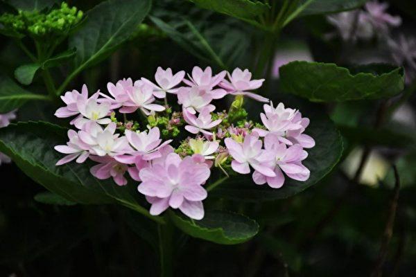 """台湾首座平地温带花园""""花鸟园"""",不但培育本岛常见户外植物,还 引进日本独步全球的特色花卉。(新竹县政府提供)"""