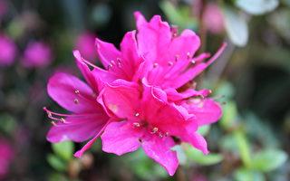 庭院:趣談植物名—杜鵑