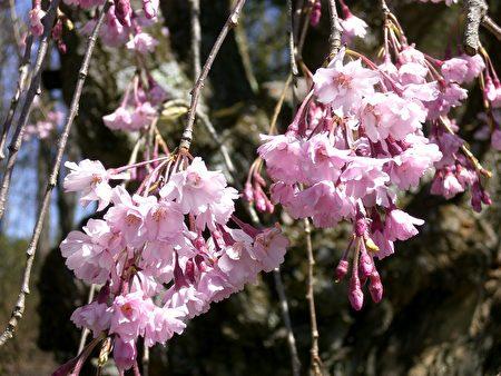 櫻花(司瑞/大紀元)