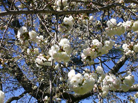 復瓣白色櫻花(司瑞/大紀元)