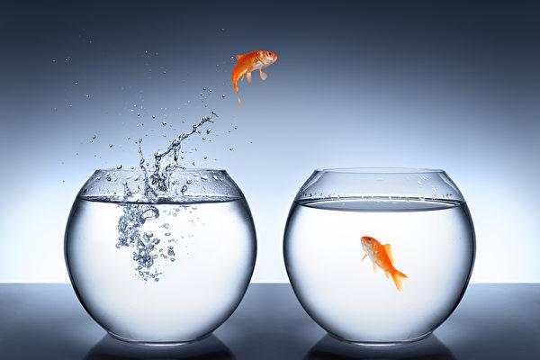 为什么金鱼不应该放生野外?