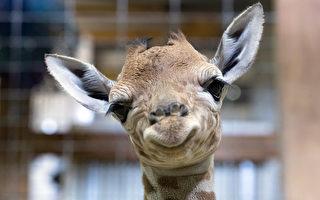 英长颈鹿宝宝生下一天 又帅又萌好可爱