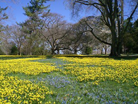 林間初春的草地上鑲嵌著數以萬計的黃色水仙花與藍色的「勿忘我花」(司瑞/大紀元)