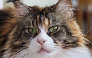 这只身长超过金氏纪录的猫看似吓人 其实非常温柔可爱