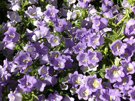 藍色春花(司瑞/大紀元)