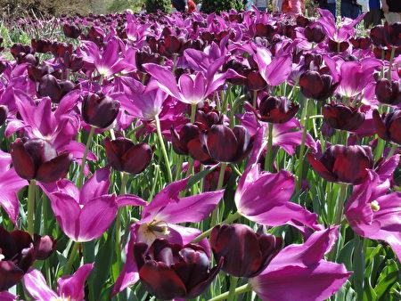 單瓣淺紫色鬱金香和復瓣絳紫色鬱金香交織在一起 (司瑞/大紀元)