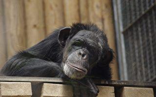 与黑猩猩斗智10年 台保育员从被扔粪到信任