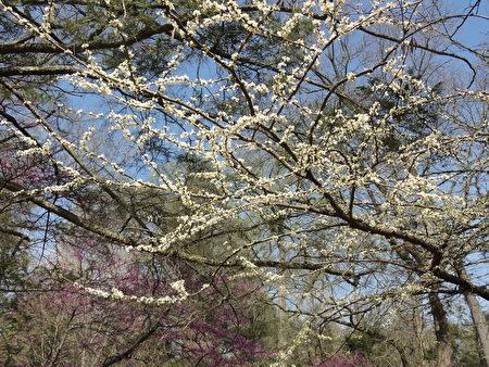 春花滿枝(司瑞/大紀元)