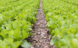 自己種菜,不僅一年四季都有蔬菜吃,有時蔬菜吃不完,還可送給同事、朋友和親戚,與他們結善緣。(Pixabay)