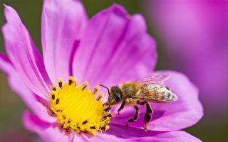 幫蜜蜂上網 研發超級蜜蜂 拯救蜂群危機需要你