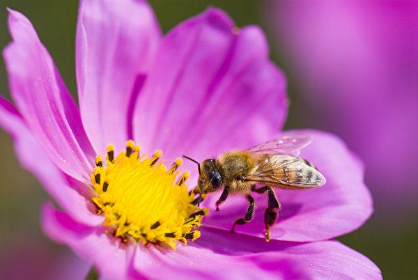 蜜蜂是令人惊叹的小小工人。(Jack Hong/Shutterstock)