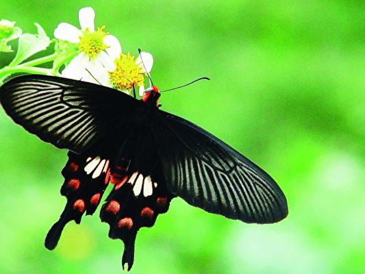 大坪校园内美丽的蝴蝶。(大坪国小提供)