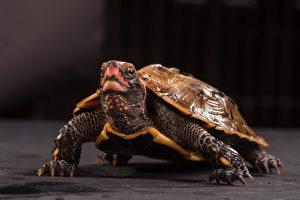 琉球地龜僅分布於日本,主要威脅為棲地縮減和零碎化,次為國際寵物貿易需求。(林務局/提供)