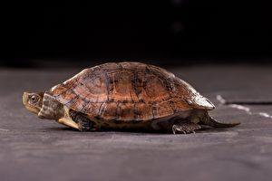 眼斑龜產於中國大陸,野外族群持續減少中,且過去曾為貿易中常見物種,但現在也已經很少出現。(林務局/提供)