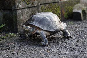 黃頭廟龜為大型龜,分布於東南亞等國,國際走私量高。(林務局/提供)