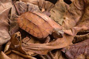 黑胸葉龜分布中國大陸、寮國及越南等國,因龜肉和寵物的需求,導致野外族群受極大獵捕壓力。(林務局/提供)