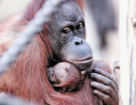婆羅洲猩猩(Getty Image)