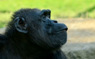感人画面:野放黑猩猩主动与恩人拥抱道别
