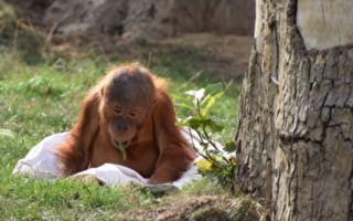 小猩猩为什么抱着自己?缘由让人好心痛