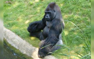 大猩猩戏水太开心 一段劲舞意外成网红