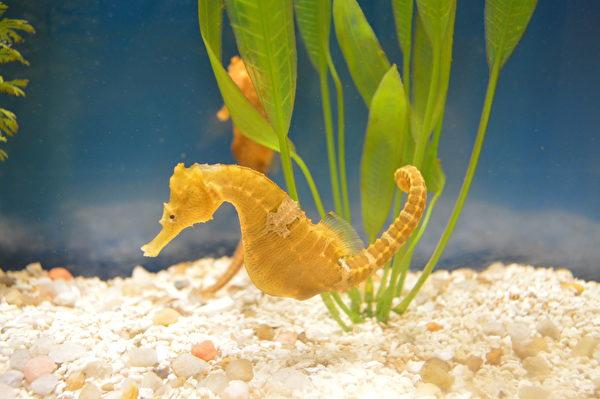 懷孕的雄海馬。(shutterstock)
