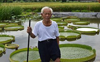 新埔大王蓮開放乘坐 體驗水上飄樂趣