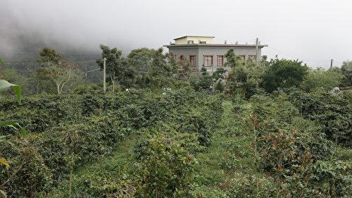 嵩岳咖啡莊園位於海拔1,200公尺的高山,在古坑鄉與阿里山交界的嘉南雲峰下,來到莊園的客人總有機會看到雲霧繚繞的景象。(鄧玫玲/大紀元)