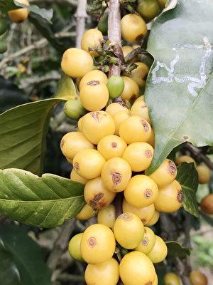 嵩岳咖啡莊園重的黃波旁的咖啡,果實比較圓實,成熟的波旁豆,果皮呈現橙黃色非常漂亮。(嵩岳咖啡莊園提供)