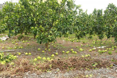 冬山乡文旦柚的损害情况。(曾汉东/大纪元)