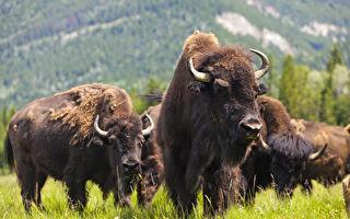 麋鹿岛国家公园——野牛的家园