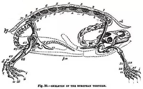 乌龟的脊椎骨有一部分是长在龟壳上的。(新唐人)