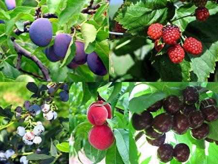 奥卡纳根湖区的水果以好吃闻名。(Sunny/大纪元)