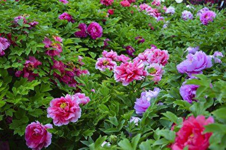 """牡丹花是被人们认为代富贵吉祥的花,也是最难种植的""""百花王""""。(Pixabay.com)"""