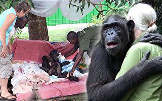 黑猩猩翁達因病瀕死時獲救,康復放歸山林時,突然緊緊抱住恩人,不捨之情讓人垂淚。(視頻截圖/大紀元合成)