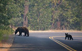 大温公园熊出没频繁 高于历年平均水平