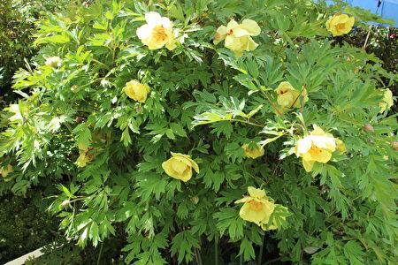牡丹花是被人们认为代富贵吉祥的花。(作者提供)
