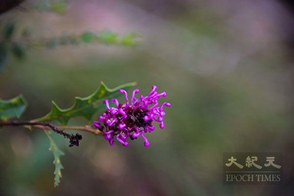 在西澳南部,通常9月份是野花盛季。 图为西澳南部的野花。(林文责/大纪元)