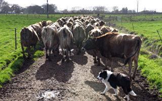 農場主以車撞牛 被罰三千五