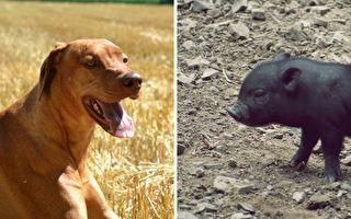 狗媽媽收養2週大豬崽 有愛畫面讓人微笑