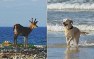 金毛犬从海里救出鹿宝宝 下一秒彻底傻眼
