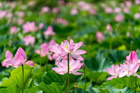 华府肯尼渥兹水上花园荷花盛开。(石青云/大纪元)