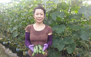 台雙碩士才女轉行 花盆種小黃瓜產量增2倍
