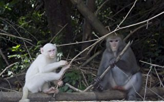 林內白猴吸引民眾圍觀  專家呼籲三不原則