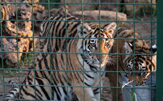 紐約動物園老虎染上中共病毒 全球首例