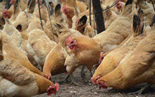 養雞協會:不曾聽過雞農用芬普尼消毒