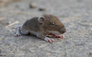 「你看!」老鼠媽媽拉人的手指去看幼鼠