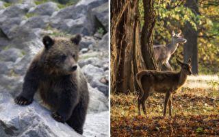 小鹿遭受熊襲擊 母鹿一招這樣出 讓人看了好心急