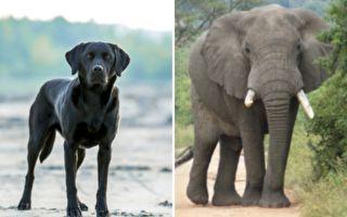 爱心动物园奇迹:大象和拉布拉多犬形影不离创佳话