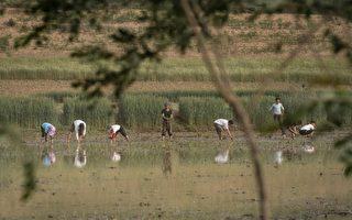 朝鮮饑荒缺人手 讓外國遊客「插秧種稻」